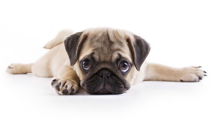 puppy-weimeraner